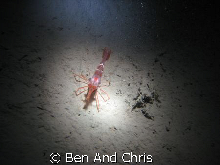 This is a north atlantic red shrimp, taken 120 fts deep i... by Ben And Chris