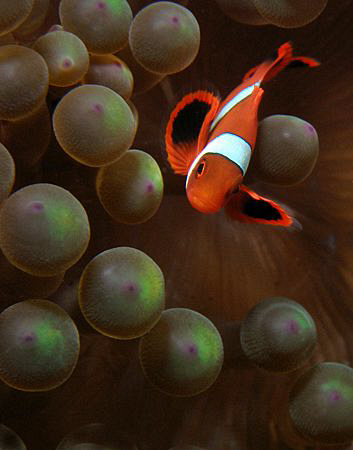 Anemonefish, Tulamben by Doug Anderson