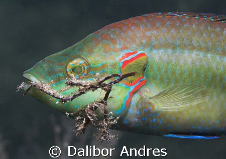 Ocellated wrasse - Symphodus ocellatus, EOS 350D, EF-S 60mm by Dalibor Andres