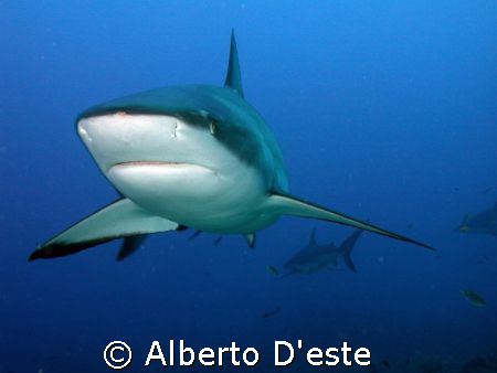 Shark feeding in Honduras (Fantasy Island) by Alberto D'este