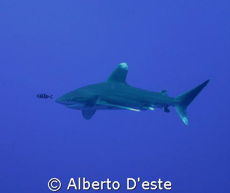 Longimanus Shark by Alberto D'este
