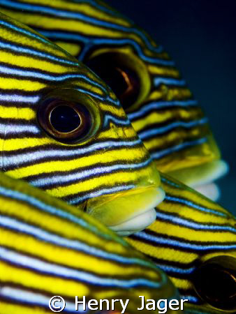 """Eyes and Stripes""    Raja Ampat, West-Papua (Macro lens ... by Henry Jager"