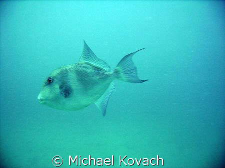 Trigger Fish on the third reef line off Hillsboro Beach by Michael Kovach