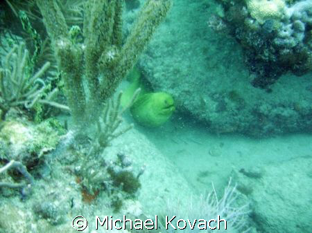 Green Morey eel  in the rocks at the Pompano drop-off nea... by Michael Kovach