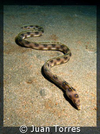 Goldspotted eel. by Juan Torres