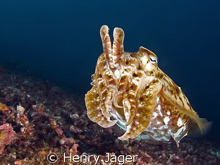 """Cuttlefish"" Raja Ampat, West Papua (14mm, f/5.6, 1/160) by Henry Jager"