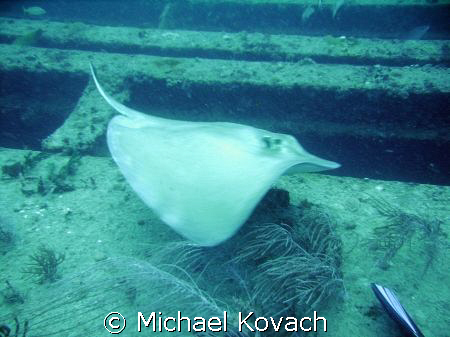 Southern Atlantic Stingray on the Sea Emperor, an artific... by Michael Kovach