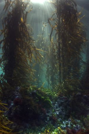 Kelp forests capture my imagination far more then any ree... by Cal Mero 