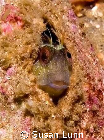 Crested Blenny with one eye on the bubble monster in fron... by Susan Lunn