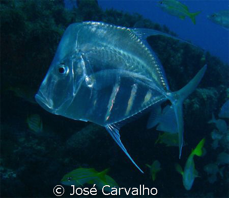 Lookdown (Selene vomer), Family: Jacks. Photo taken at Ba... by José Carvalho