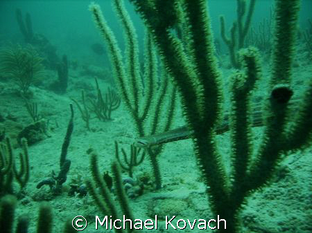 Trumpet fish hiding in the inside reef off Lauderdale by ... by Michael Kovach