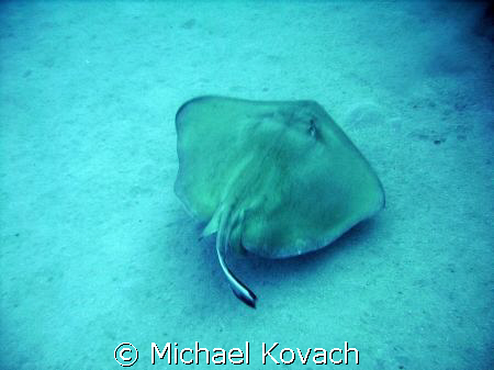 Southern Atlantic Stingray on the sand near the Sea Emper... by Michael Kovach