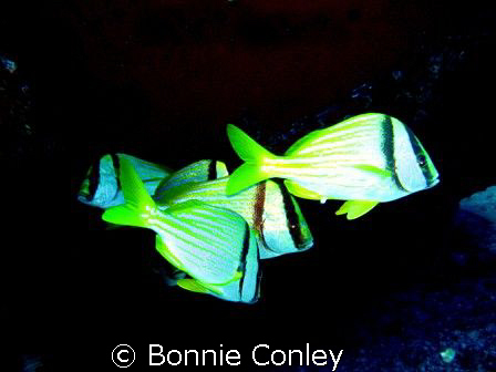 School of Porkfish seen this May in Cancun.  The shot was... by Bonnie Conley
