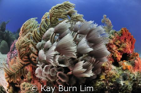 Social Feather Dusters, Nikon D300 (Sea & Sea housing) 10... by Kay Burn Lim