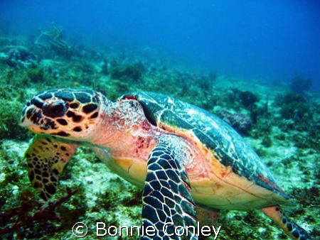 Turtle seen at Cancun May 2008.  He was very photogenic. ... by Bonnie Conley
