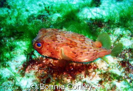 Small Balloonfish seen at Cancun May 2008.  He was only a... by Bonnie Conley