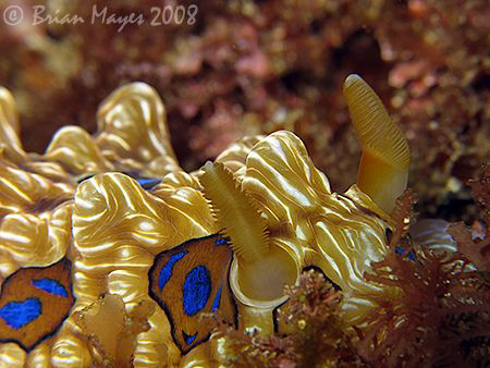 Large Gem Nudibranch (Dendrodoris denisoni). Or is it a b... by Brian Mayes