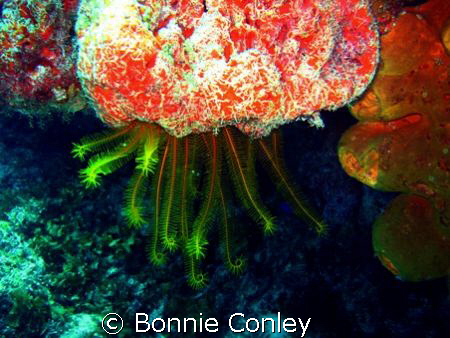 Golden Crinoid seen at Mexico May 2008.  Photo taken with... by Bonnie Conley