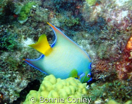 Queen Angelfish at Isla Mujeres.  Photo taken this May wi... by Bonnie Conley