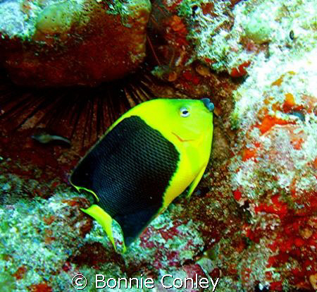Rock Beauty seen this May in Cancun.  Photo taken with a ... by Bonnie Conley
