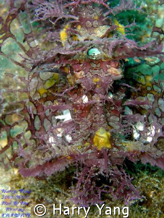 Lacy Scorpionfish. Kenting,TAIWAN. Casio EX-Z1000  8mm  ... by Harry Yang