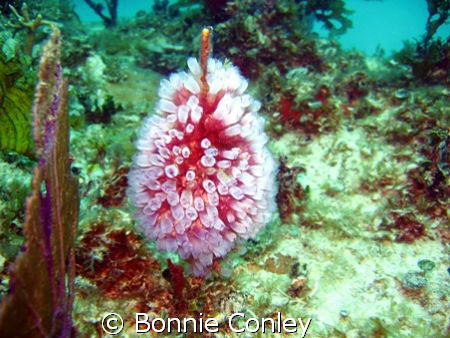 While on my annual trip to Isla Mujeres I saw numerous tu... by Bonnie Conley