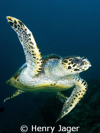 """Turtle"" from Raja Ampat, West-Papua by Henry Jager"