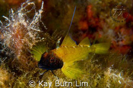 Male black faced blenny - Tripterygion delaisi, D300, 60m... by Kay Burn Lim