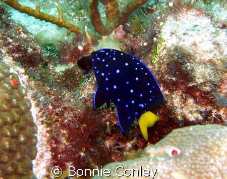 Yellowtail Damselfish seen at Isla Mujeres May 2008.  Pho... by Bonnie Conley