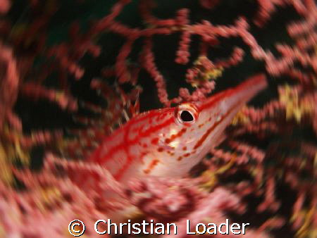 Long-nose Hawkfish at Mabul, Borneo. Olympus SP-350, sing... by Christian Loader