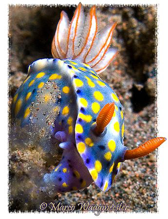 Hypselodoris Kanga nudibranch, Tukad Abu, Bali (Canon G9,... by Marco Waagmeester