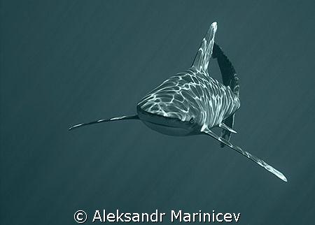 Longimanus(Oceanic white-tip shark), Elfinstone reef by Aleksandr Marinicev
