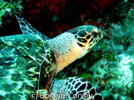 Turtle seen at Cancun May 2008.  One of several I saw in ... by Bonnie Conley