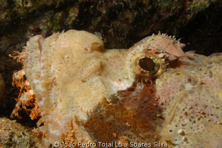 Scorpionfish (Scorpaenopsis diabolus) portrait. by Joao Pedro Tojal Loia Soares Silva 