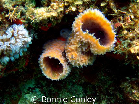 Sponges seen at Isla Mujeres May 2008.  Photo taken with ... by Bonnie Conley