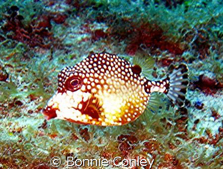 Trunkfish are one of my favorites!  I saw this little cut... by Bonnie Conley