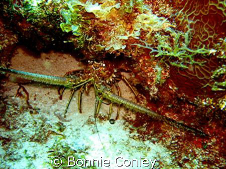 Lobster seen at Isla Mujeres May 2008.  Photo taken with ... by Bonnie Conley