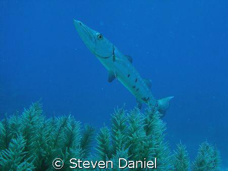 Barracuda on French Reef at Key Largo National Marine San... by Steven Daniel