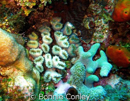 Flower corals seen at Grand Cayman August 2006.  Photo ta... by Bonnie Conley