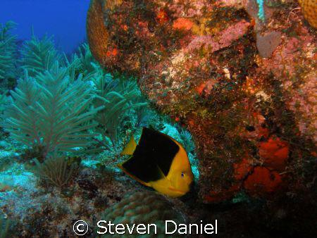 Rock Beauty shot on Wreck of the Benwood in Key Largo Mar... by Steven Daniel