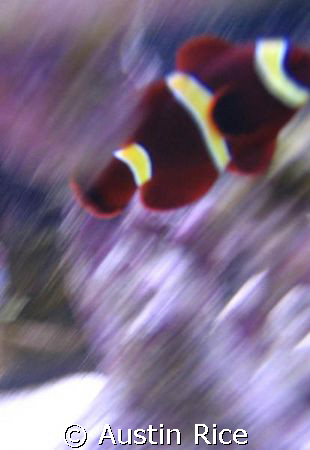 My Gold Striped Maroon clownfish in my 60 gallon aquarium... by Austin Rice 