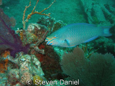 Stop Light Parrot Fish shot on the wreck of the Benwood K... by Steven Daniel