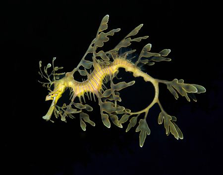 We drove 14 hours straight to find the leafy sea dragon. ... by Cal Mero