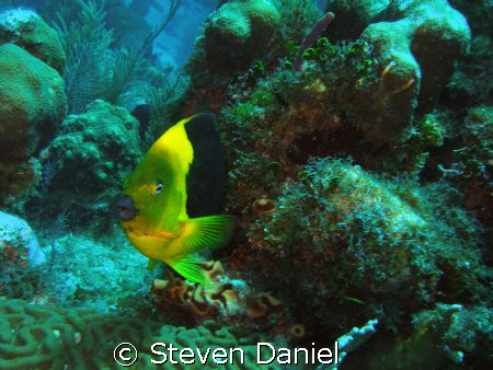 Rock Beauty shot on French Reef off  Key Largo in the Nat... by Steven Daniel 