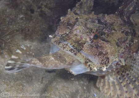 Long spined scorpion fish. It just won't go down..