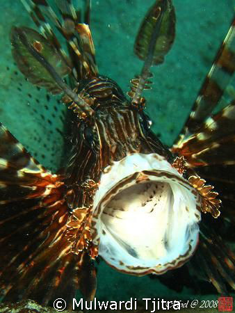 Yawning Lionfish ..  by Mulwardi Tjitra 