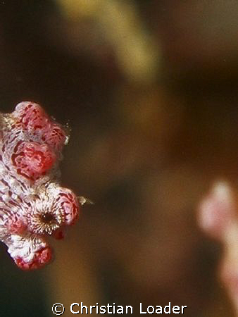 Peek-a-Boo!  Pygmy Seahorse at Sibuan, near Semporna, Bor... by Christian Loader