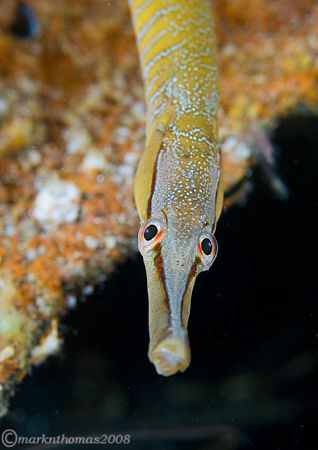 Snake pipefish. Trefor Pier, Wales. 60mm. by Mark Thomas