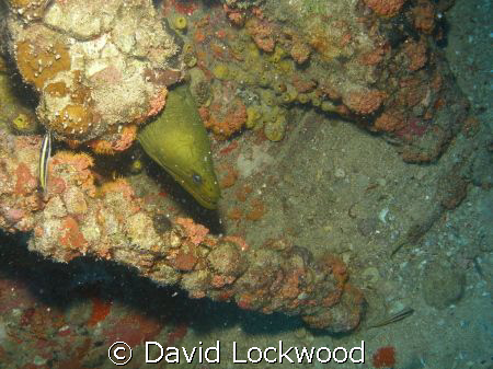 """Peekaboo"". Moray eel in a standpipe, USCG Duane, Florida... by David Lockwood"