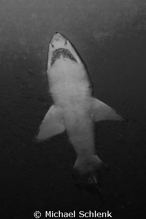 Sand Tiger Shark sited off North Carolina coast. by Michael Schlenk